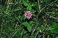 Trifolium pratense f1.JPG