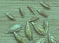 Triticum dicoccum, bruinkafzomeremmer graankorrels (2).jpg