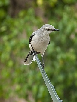 Tropical Mockingbird 6 (4357776229)