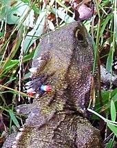 Tuatara At The Karori Sanctuary Are Given Coloured Markings On Head For Identification