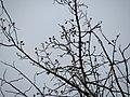 Tuliptree (32288909474).jpg
