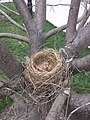 Turdus migratorius nest with chicks and eggs.jpg