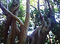 Turkeyberry tree - Newlands forest - Canthium inerme.jpg