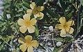 Turnera Ulmifolia. Great Harbour Key (24005193667).jpg