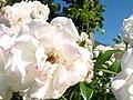 Uetersen rosarium schneewittchen-rose close.JPG