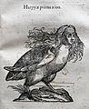 Ulisse aldrovandi, monstrorum historia, per nicola tebaldini, bologna 1642, 071 arpia.jpg
