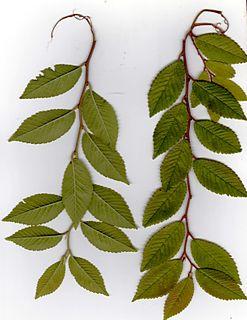 <i>Ulmus parvifolia</i> Drake Elm cultivar