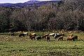 Vacas en Dadín.jpg