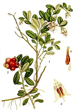 1   Blomstrende gren2 Modnende bær3 Blomst i længdsnitt4 Stander, 8× forstørrelse