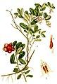 Vaccinium vitis-idaea L..jpg