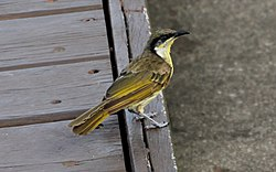 Varied Honeyeater (Gavicalis versicolor) (31359494696).jpg