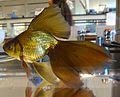 Veiltail Goldfish.jpg