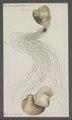 Venus gallina - - Print - Iconographia Zoologica - Special Collections University of Amsterdam - UBAINV0274 077 12 0021.tif