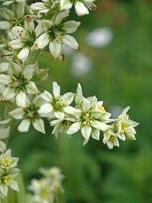 Veratrum californicum - Image: Veratrum californicum flowers 1