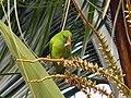 Vernal Hanging Parrot-1.jpg