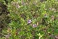 Veronica diosmifolia kz7.jpg
