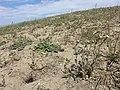 Veronica praecox + Alyssum alyssoides + Arabis auriculata sl2.jpg