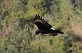 Verreaux's Eagle. Black Eagle, Aquila verreauxii (14059624026).jpg