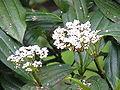 Viburnum davidii0.jpg