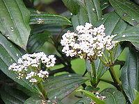 Viburnum davidii0