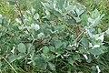 Viburnum lantana, Sambucaceae 07.jpg