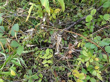 Vincetoxicum rossicum SCA-04846.jpg