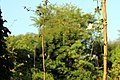 Vine Weeds India.jpg