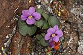 Viola flettii 4799.JPG
