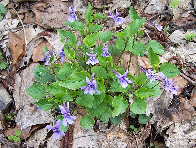 File:Viola reichenbachiana a1.jpg