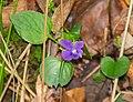 Viola reichenbachiana in Aveyron (2).jpg