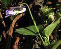 Viola riviniana PID1974-1.jpg