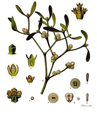 Viscum album - Image: Viscum album Köhler–s Medizinal Pflanzen 281