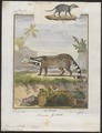 Viverra zibetha - 1700-1880 - Print - Iconographia Zoologica - Special Collections University of Amsterdam - UBA01 IZ22400017.tif