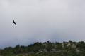 Vol d'un vautour fauve dans les Gorges du Tarn.png