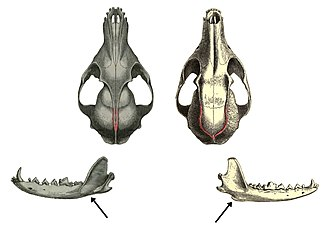 Fox - Comparative illustration of skulls of a true fox (left) and gray fox (right), with differing temporal ridges and subangular lobes indicated