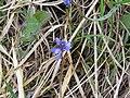 WLE2019 - Frasne-Bouverans - Unidentified blue flower 01.jpg