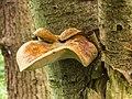 Waaierbuisjeszwam (Polyporus varius) op een dode lijsterbes (Sorbus). Locatie. Natuurterrein De Famberhorst. 08-07-2019. (d.j.b). 02.jpg