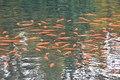 Wade Lagoon Koi Fish (22535513936).jpg