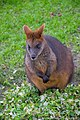 Wallaby (40903518991).jpg
