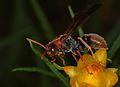 Wasp (Paper wasp?) (30103464851).jpg