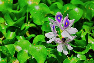 Niranam - Water hyacinth flower