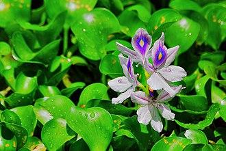 Niranam - Water hyacinth flower