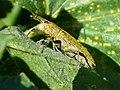 Weevil. Curculionidae. Lixus sp.? (31461841624).jpg