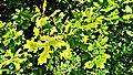 Weideswiesen-Oberwald bei Erlensee - Blätter.jpg