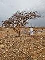 Weihrauchbaum Oman Boswellia Sacra Georg Huber.jpg