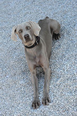 weimaraner perro gris