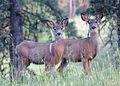 Wenaha mule deer.jpg