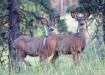 English: Two mule deer in Wenaha Wildlife Area