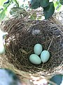 Western Kingbird Eggs.jpg