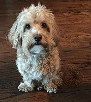 Poodle Crossbreed Wikipedia